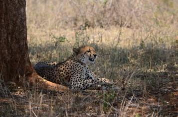 Ghepardo al Kruger